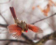 A female Cardinal diving from a branch. I love the lift the air brings to the tufted feathers on her back. Not something easily seen without the benefit of a…