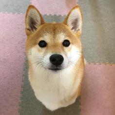 #dog #dogs #shiba #shibainu #shibas #cutedog @yumohiyo