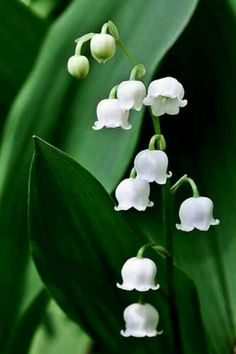 White coral bells Upon a slender stalk Lilies of the valley Down my garden walk Oh, don't you wish That you could hear them ring. That will happen only when the fairies sing.