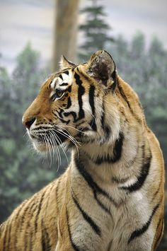 Tiger | by LinneaRitchie
