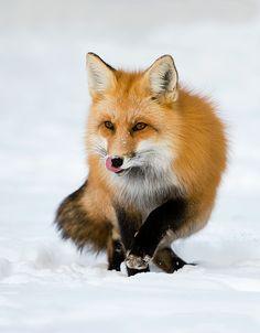 Red Fox by JudyLynn Malloch Photography