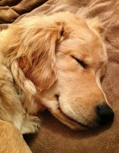 Napping Golden Retriever - No one could possibly guess my favorite breed.  LOL!