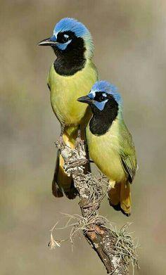 Incagaai - Green Jay (Cyanocorax yncas) in Texas, USA