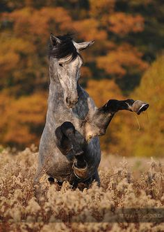 Only horses : Photo Most Beautiful Animals, Beautiful Horses, Beautiful Creatures, Horse Photos, Horse Pictures, Yorky, Majestic Horse, Horse World, All The Pretty Horses