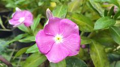 Planta decorativa de muy vistosos colores, ideal para áreas de sombra.Nombre Cientifico: Vinca Rosea Catharantus Roseus.  otros nombres que he visto Catarantus, Pervinca, Vinca rosa, Pervinca rosa, Dominica, y aca en venezuela la llaman buenas tardes