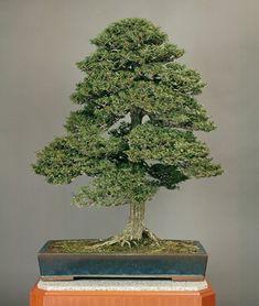 Age: about 150 yrs. Bonsai Art, Bonsai Plants, Bonsai Garden, Bonsai Trees, Short Trees, Hinoki Cypress, Tree Saw, Miniature Trees, Potted Trees