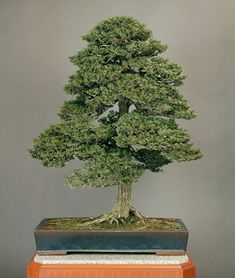 Hinoki. Age: about 150 yrs. Height: 111 cm.