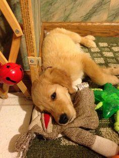 Golden puppy :D