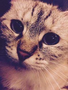 #Cat #Siamois #BlueEyes #Beautiful #Cute
