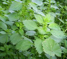Nettles & Other Edible Weeds