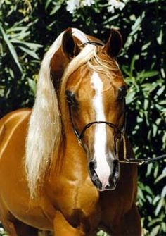 Fire An Ice (Gold N Ali x Tu-Flame (by Baske-Tu)), 1990 chestnut stallion registered both AHA and PHA