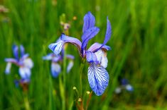 If you're looking for an interesting, moistureloving plant to add to the garden, consider planting flag iris. Get tips for growing flag iris plants in the garden in the article that follows.