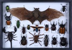 Blyth's Horseshoe Bat (Rhinolophus lepidus refulgens) mounted in a box frame with various exotic beetles and insects.Beautifully mounted insects, displayed in a hand made frame with wall mount.Each insect taxidermy frame is unique and contains a variety of exotic insects.Museum quality insect mount, beautifully set by our professional entomologists. The insects are mounted in a life like position with their species name listed underneath.We only use sustainably s...