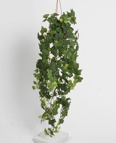 English  ivy 70 cm - 130GPP