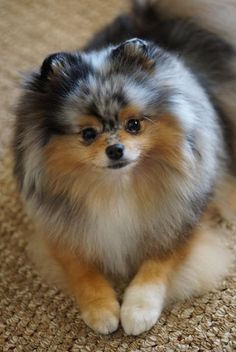 The Pomeranian, also known as the Zwergspitz and commonly called the Pom, descends from spitz-type sled dogs of Iceland. Cute Puppies, Cute Dogs, Dogs And Puppies, Doggies, Pomeranian Puppy, Chihuahua, Pomsky, Pomeranian Memes, Blue Merle Pomeranian