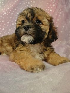 Female Teddy bear puppies for sale Puppy Born September 2011 Bear Dog Breed, Teddy Bear Puppies, Dog Breeds, Puppies For Sale, Cute Puppies, Mixed Breed Puppies, Baby Animals, Cute Animals, Pet Dogs