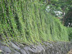 Vernonia Elliptica - Lee Kwan Yew