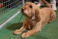 basset fauve de bretagne photo | Basset Fauve De Bretagne On Dog Show Wallpaper 1600×1067 #188679 HD ...