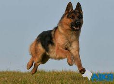 Paco, a super show line male in training to be a Corgi, German, Training, Animals, Dog, Deutsch, Coaching, Animales, German Language