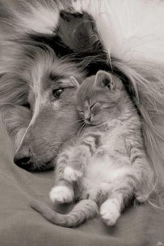 A kitten asleep on its back cuddling into a dog's face.