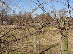 Time to get out and prune muscadines