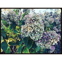 """#hydrangea #paniculata #limelight #flower #garden #landscape #lilac #syringa #botanical #shrubs #leaves #fall #soil #botanicalgardens #chicago #suburbs"" Photo taken by @akaaki157 on Instagram, pinned via the InstaPin iOS App! http://www.instapinapp.com (11/08/2015)"