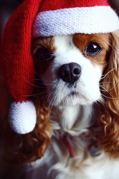 """Cavalier King Charles Spaniel says """"Merry Christmas"""" Christmas Puppy, Christmas Animals, Merry Christmas, Christmas Morning, Christmas Ornament, I Love Dogs, Puppy Love, Cute Puppies, Cute Dogs"""