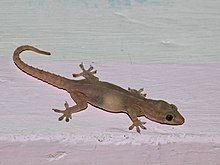 Common House Gecko Wikipedia Lizard Species Animals Gecko