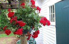 To me God only made geraniums in red ....