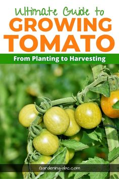 growing tomatoes made simple. The easy to read guide from planting to harvesting tomatoes. #tomatogardening #growingtomatoes #tomatoplant