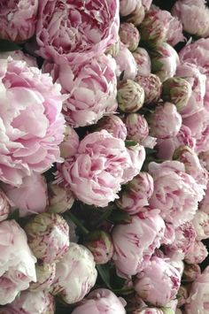 Pivoine : floraison, taille et entretien - Growing Peonies - How to Plant & Care for Peony Flowers Peony Flower, Flower Wall, My Flower, Cactus Flower, Pink Peonies, Pink Roses, Pink Flowers, Tea Roses, Exotic Flowers