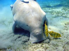 New military base could seal fate of Okinawa dugong ... maybe better for news?