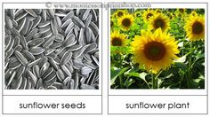 Montesouri Flower Lessons One is Seed and Plant Matching Cards from Montessori Print Shop