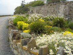 Roadside flowers at Lissadell Beach, County Sligo. http://upload.wikimedia.org/wikipedia/commons/a/aa/Roadside_planting_at_Lissadell_-_geograph.org.uk_-_810991.jpg