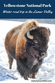 Go wildlife watching in Yellowstone National Park's Lamar Valley. Read our tips on how to plan an independent visit. You'll see big horn sheep, bison and maybe even wolves! What a fun winter travel adventure.