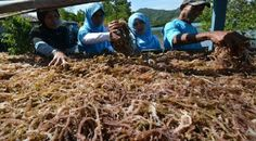 """""""Since it came out, the plan to impose an export tax on raw or dried seaweed has apparently raised doubts for importers worldwide about buying more seaweed from Indonesia,"""" he claimed."""