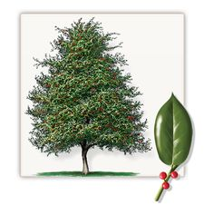 Foster Holly Tree Mature Height 20 39 Growth Rate 1 39 Per Year Trees Landscaping Gardening