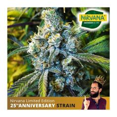 Super Silver Haze Feminized is a numerous High Times Cup Winner that boasts an electric, soaring cerebral effect. High Times, Old School, South Africa, Seeds, Electric, Silver, Money