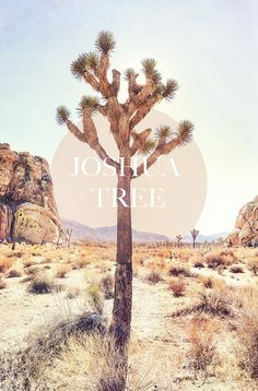 Drove through many Joshua Trees traveling from Las Vegas to California