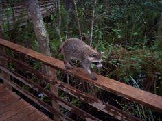 A raccoon walkin' the plank! www.garygreenfield.com