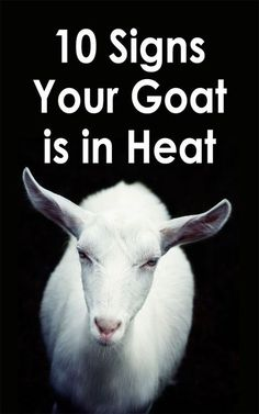 How To Raise Goats: Natural Goat Care for Meat, Milk and Profits in Your Backyard - Tools And Tricks Club Keeping Goats, Raising Goats, Kiko Goats, Alpine Goats, Goat Toys, Goat Shelter, Nubian Goat, Goat Barn, Boer Goats