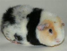 Teddy Guinea Pig | Cavia Guineapig - Irklar