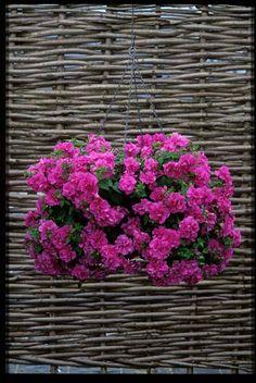 TUMBELINA Candyfloss - David & Priscilla Kerley, Breeders of Novel Patio Plants