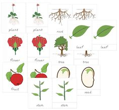 El jardín útil: Montessori Botánica Nomenclatura fijado para el 3-6 de la Escuela Primaria