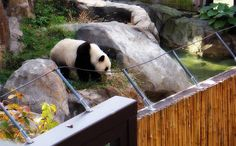 People will get up in the middle of the night to see the pandas. ~ Don Lindburg Panda bear - Animal National Zoo, Washington DC Link to all my panda photos Animal Like it...Like it good http://www.realestatemotivatedbuyers.com