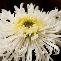 #Chrysanthemums - #Flower of #Happiness and Mourning