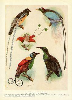 década de 1950 aves del paraíso Vintage Ave impresión placa