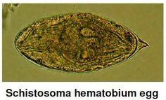 Schistosoma hematobium egg is an important digenetic trematode