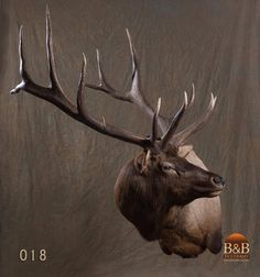 Taxidermy by B&B Taxidermy provides fine taxidermy for Trophy Game Rooms, African, North American and Exotic Mounts located in North Houston Texas The Woodlands Texas, Conroe Texas, Spring Texas, Fallow Deer, Elk Hunting, Above And Beyond, Taxidermy, Game Room, Moose