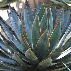 Easy Desert Landscaping Tips That Will Help You Design A Beautiful Yard Front Yard Plants, Backyard Plants, Outdoor Plants, House Plants, Agaves, Cacti And Succulents, Planting Succulents, Cactus Plants, Succulent Arrangements